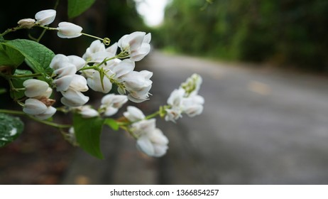 White Confederate vine; Coral vine; Mexican coral vine; Mexican creeper; Queen's jewels; Queen's wreath, with blurred background, Thailand.
