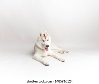 White and Copper Colored Siberian Husky Puppy Sitting on Light Background