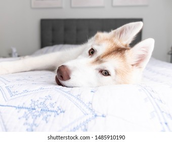 White and Copper Colored Siberian Husky Puppy Laying on White and Blue Blanket