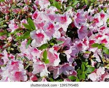 White coral azalea bush flower or rhododendron in garden. Season of flowering azalea (rhododendron). Colorful pink azalea flowers in Japan azalea park. Beautiful flowering rhododendron shrub toxic