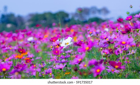White cosmos flower with bee is swarming in flower field.