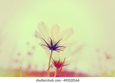 White Cosmos flower with blurred background.