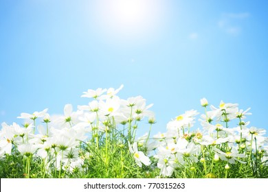 White cosmos flower field with blue sky background.