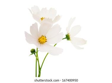 White cosmos flower images stock photos vectors shutterstock white cosmos flower isolated on white background mightylinksfo