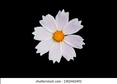 White cosmos flower on black isolate background with clipping path. flower objetive for use.