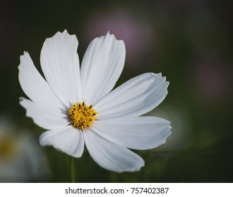 White Cosmos Flower Images Stock Photos Vectors Shutterstock