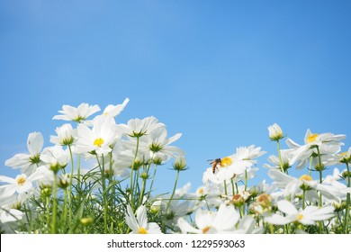 White cosmos flowers field and bee with blue sky background.