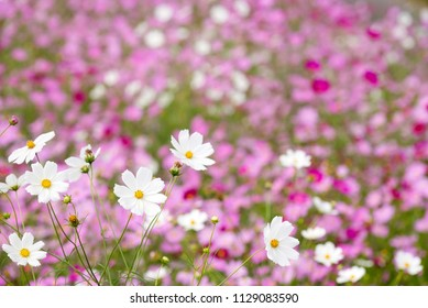 White cosmos flowers in front of pink cosmos flower field