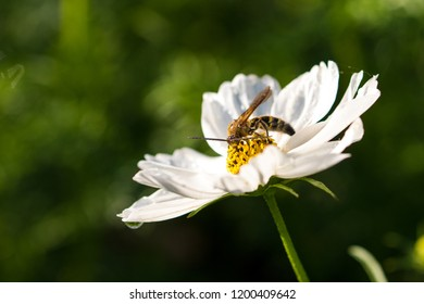 White cosmos flowers, Funabashi-city, Chiba prefecture, Japan