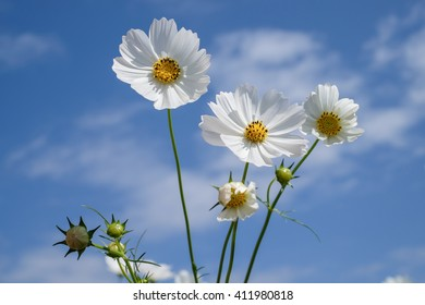white cosmos flowers in the garden with blue sky and clouds background