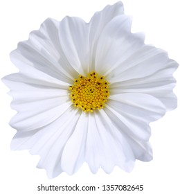 White cosmos flowers isolated on a white background.