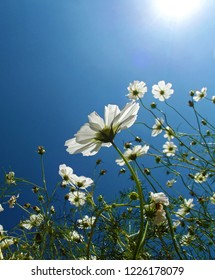 White Cosmos Flowers and Sun