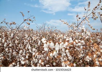 White Cotton field
