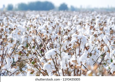 White cotton field under the sun
