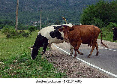 A white cow with black spots and a brown cow (looking at the camera) cross a road made of asphalt that runs through a field in a hilly area. Green on the horizon. Gray sky. Landscape orientation