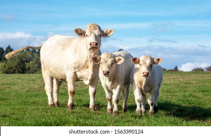 White cow with calves in the field, cute Charolais next to two bull calves on a sunny day.
