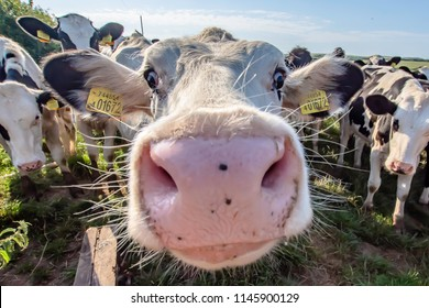 White cow close up portrait on pasture.Farm animal looking into camera with wide angle lens.Funny and adorable animals.Cattle Uk.Big, oversized and pink cow nose.