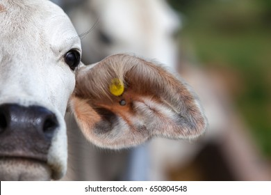 A white cow looks at the camera with out of focus cow in the background