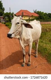 White cow near Siem Reap in Cambodia