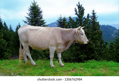 White cow on the grass with mountains and firs trees in the background, on the Mont-Canigou (Pyrénées-Orientales), France