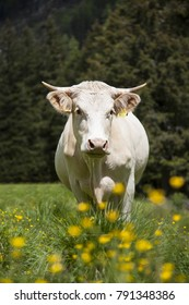 The white cow on the meadow in the summer in Austria
