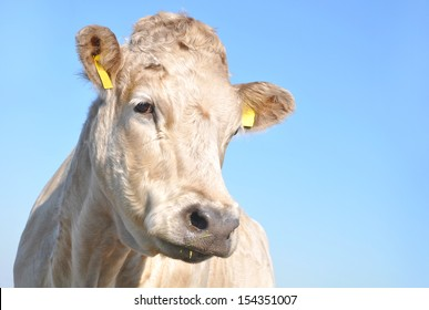 White cow portrait with blue sky