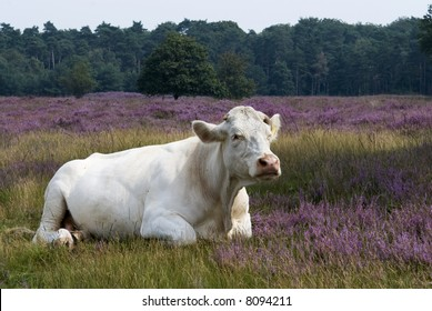 white cow in purple heathland