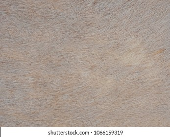 White cow skin and fur texture as background.