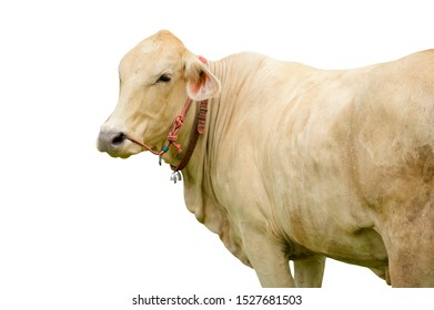 White cow standing isolated on white background