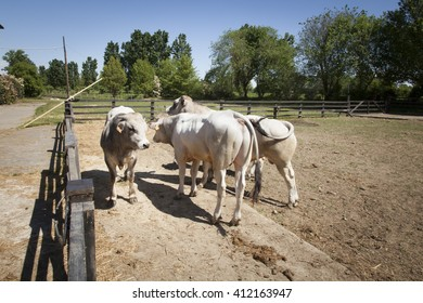 white cows in a corral in a sunny day