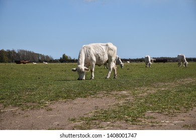 White cows grazing in a sunlit green grassland at the swedish island Oland