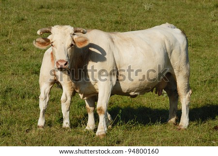 white cows on a farmland in France