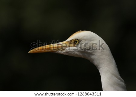 White Crane Bird Closeup India Stock Photo (Edit Now