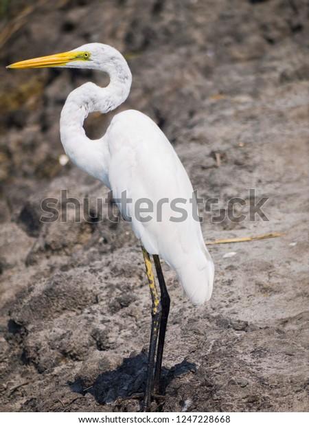 White Crane Bird Longleg Longneck Standing Stock Photo (Edit