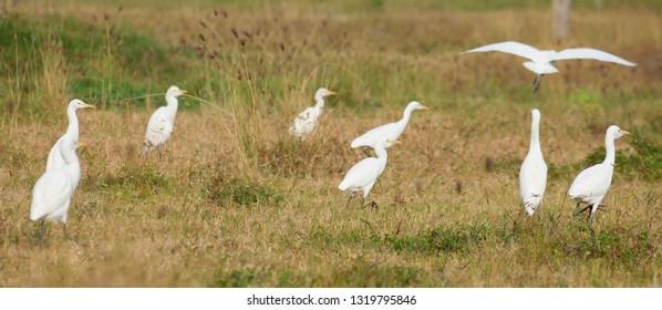 White Crane with Yellow Beak Images, Stock Photos & Vectors