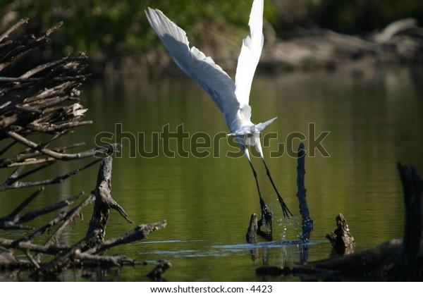 white crane deep within the everglades