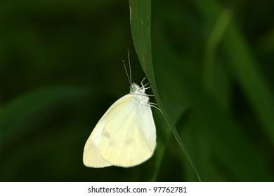 a white crataegi  on green leaf in the wild
