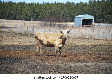 White and cream colored cow standing in a field with muddy legs.