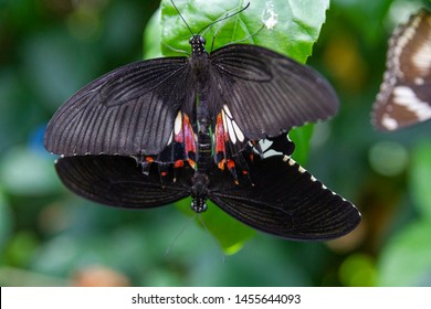 White crescent swallowtail butterflies sexual intercourse. Eurytides thymbraeus. Species of butterfly in the family Papilionidae. It is found from Mexico to El Salvador and Honduras.