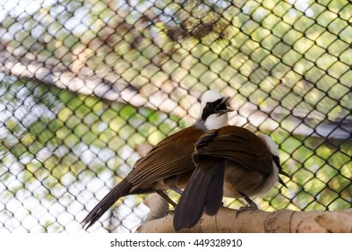 White crested brown laughingthrush bird perching on wood