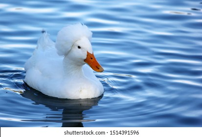 A white crested white duck swims on a lovely pond.