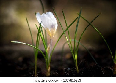 white crocus among grasses