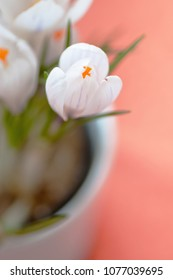 A white crocus in white flower pot