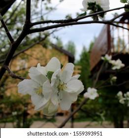 White Crocus Jeanne d'Ark cultivar blooming in early spring