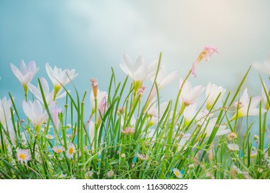White Crocus Vernus in a sunny spring day (Crocus vernus) Wonderful blooming of Crocus vernus. Krachai flower field blooming in rainy season on the mountain, Chaiyaphum province, Thailand