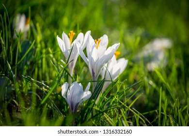 White crocuses on green grass hill, natural floral background closeup