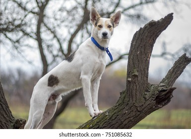White cross-breed dog standing on an apricot tree branch and watching around