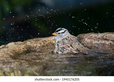 White Crown Sparrow bathing with beads of water
