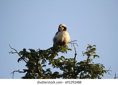 A White Crowned Shrike at the top of a tree
