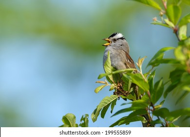 White crowned Sparrow perched between green singing